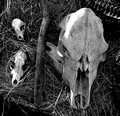 Skulls at an Indian Village
